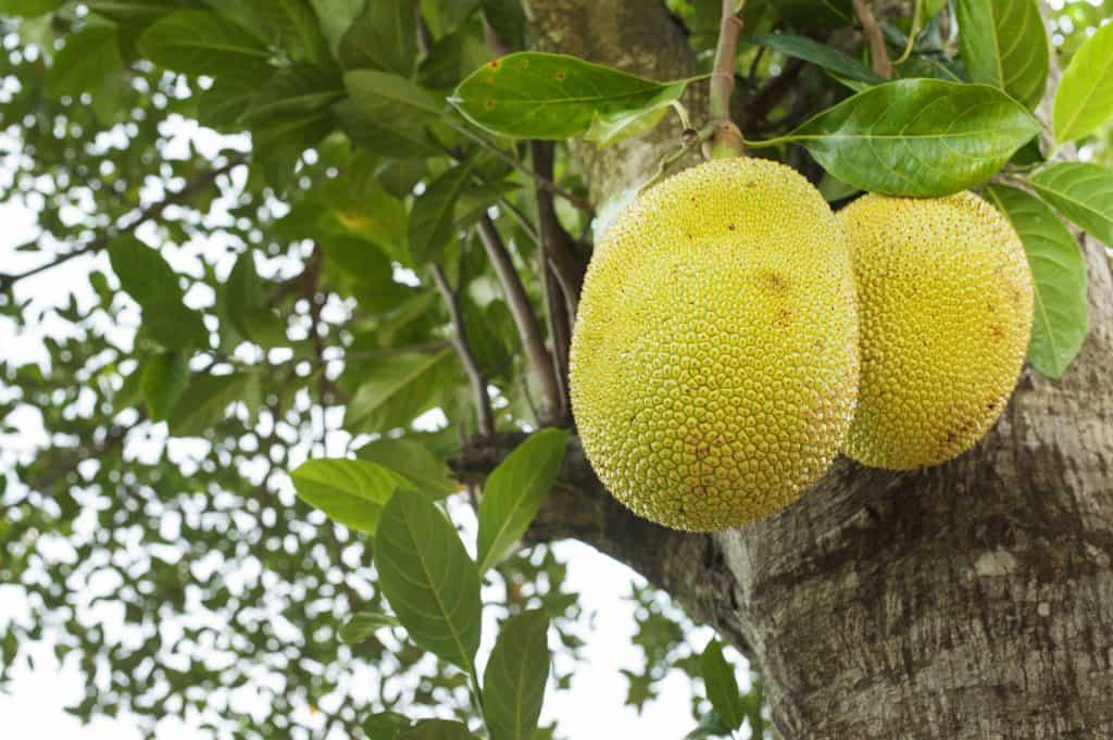 Jackfruit Jacky F.
